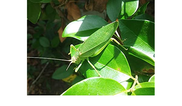39221ef1 Amazon.com: Home Comforts Framed Art for Your Wall Katydid Grasshopper  Camouflage Insect Green Leaves 10x13 Frame: Posters & Prints