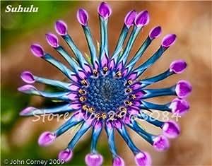 100 PC / bolso mezclado color de la margarita observada azul Semillas de Osteospermum, semillas de flores, Bonsai crecimiento natural para el hogar decoración de jardín 21