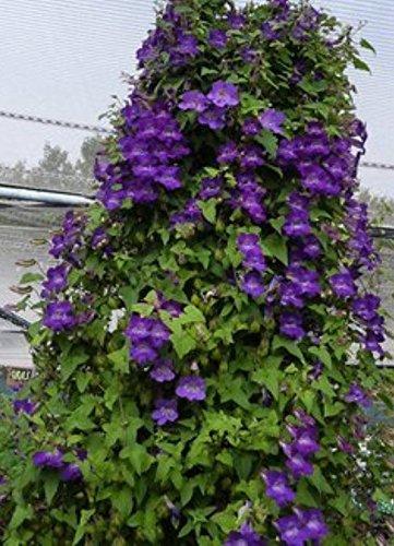 100 Climbing Snapdragon Seeds (Purple) Perennial Flowers Vine -Asarina ()