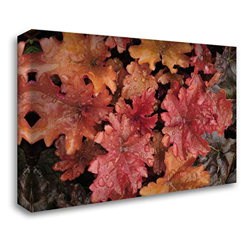 Heuchera Peach - OR, Portland Foliage of Peach Flambe heuchera 24x17 Gallery Wrapped Stretched Canvas Art by Terrill, Steve