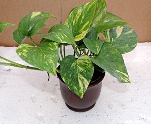 Golden Devil's Ivy - Pothos - Epipremnum - 4