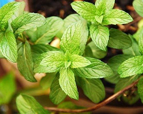 Semillas de menta - Mentha piperita - 1800 semillas: Amazon.es: Jardín