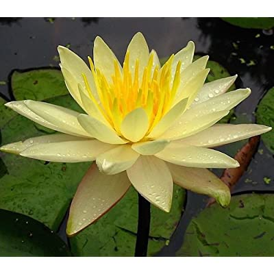 Live Aquatic Plant Nymphaea Mexicana YELLOW Color HARDY Water Lily TUBER for Aquarium Freshwater Fish Pond BUY 2 GET 1 FREE by JustNature : Garden & Outdoor