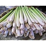 Lemongrass Fresh 12 Stalks from TastePadThai