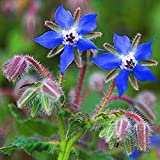 Borage- Herb- 50 Seeds