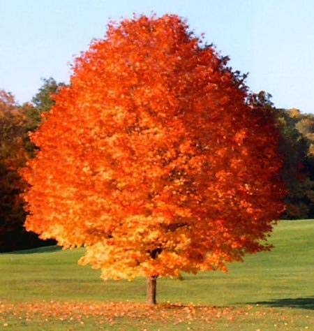 (October Glory Maple Tree - Best and Brightest Maple for Warm climates! (2 Years Old and 3-4 feet Tall.))