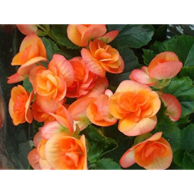 Earth Seeds Co 50 Pcs Begonia Seeds, Variety Super-Sized Flowers All Summer Long, Magnificent Colour Flower Plants Seeds Ideal for Patio or Border in Summer Months, Very Easy to Grow : Garden & Outdoor