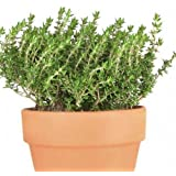 Creative Farmer Herbal Plant Seeds - Thyme Creeping Kitchen Garden Pack