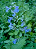 Walkers Low Catnip (Nepeta 'Walker's Low')