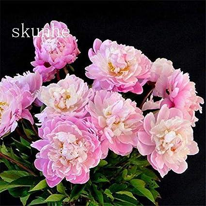 Amazon.com & Amazon.com : Pinkdose Top Fashion Summer Blooming Plants Virgo ...