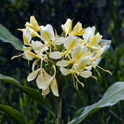 AchmadAnam - Live Plant - Ginger Hedychium Flavum Yellow Butterfly 3-Inch Deep Pot Garden : Garden & Outdoor