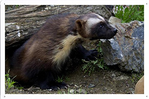 (Tin Poster (20x30cm) of Wolverine 3657 by Global Animal Sign)