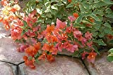 Live Plant Bougainvillea Orange King Tree Plant Graga01