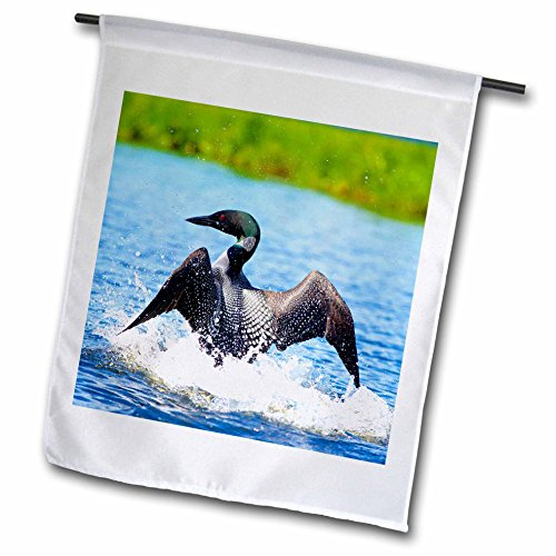 3dRose Danita Delimont - Birds - Common Loon dancing on water in a display to distract from its nest. - 18 x 27 inch Garden Flag (fl_257465_2) (Loon Water)