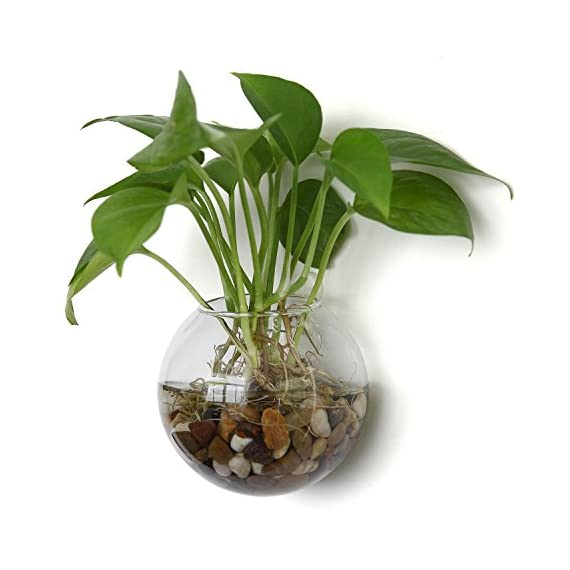 T4U Wall Mounted Glass Terrariums Pack of 2 Ball Shape 5.75 Inch, Clear Air Plant Globes Bubble Planter Hanging Flower Vase Candle Display Bowl Jars for Home Office Garden Wedding Wall Decoration Gift - Wall Decoration - Mounted on the wall, holding air plant, hydroponics plant, tealight candles or other decorative ornaments, bring unique, modern style to your home and office decoration Hanging Terrariums - Dazzle guests and family members with the modern elegance of these wall-mounted hanging terrariums Wedding Ceremony Party Decoration - The terrarium hanging globe brings elegance to wedding, ceremony and party - vases, kitchen-dining-room-decor, kitchen-dining-room - 51YIcXZTnDL. SS570  -