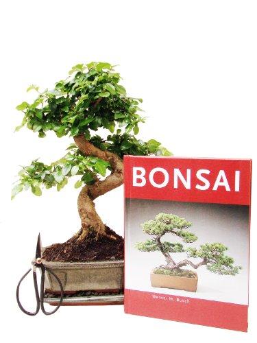 Bonsai Geschenkset Anfänger-Set Liguster, ca. 7 Jahre, ca. 30 cm hoch