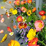 Brand New! Flower seeds Iceland Poppy seeds Mix Pink Yellow Orange Rose White Cream and Bicolors garden decoration plant free 200 PCS seeds of hope