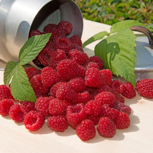 Plant a 20 Foot Row of Cascade Delight RED Raspberry-Sweet & Firm June Berries