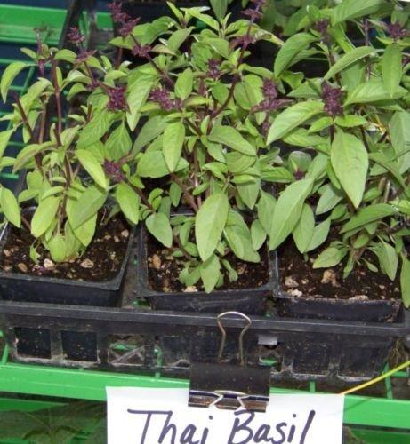 basil, THAI SPICEY BASIL, 225 seeds! herb garden fresh pesto ()