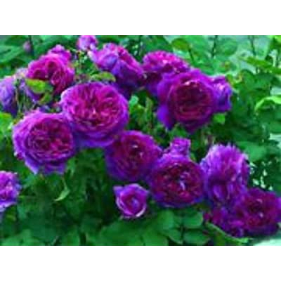 payneandjesus Rare Deep Purple Climbing Rose! 15 Seeds! Comb. S/H! See Our Store! : Garden & Outdoor