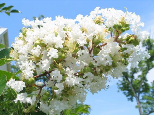 Live Plants Shipped 2 Feet Tall by DAS Farms Natchez White Crapemyrtle Tree No California