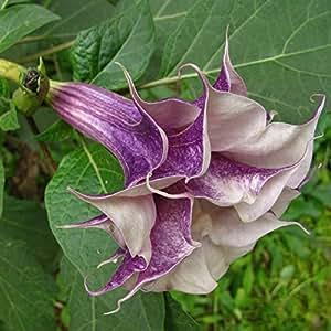 Un paquete de 50 piezas de Datura Purple Seed Balcón flores de la planta en maceta de Bonsai Semillas Semillas Hierbas Jardín Verde Mandala de la flor