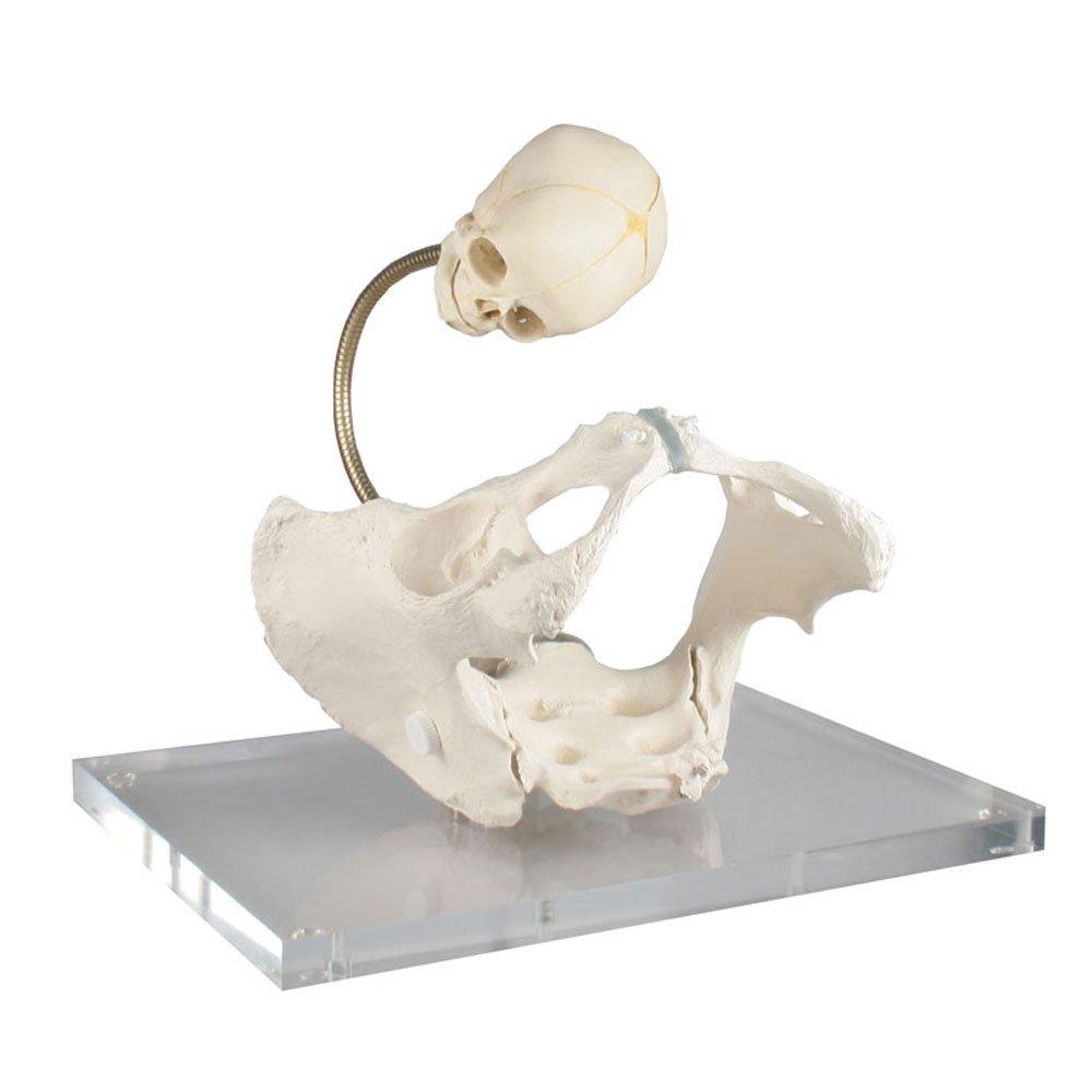 Skeleton Model Birthday New Baby Urologie Basin Sink Flexible