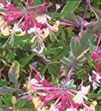 "Harlequin Variegated Honeysuckle Vine - Lonicera - 2.5"" Pot"