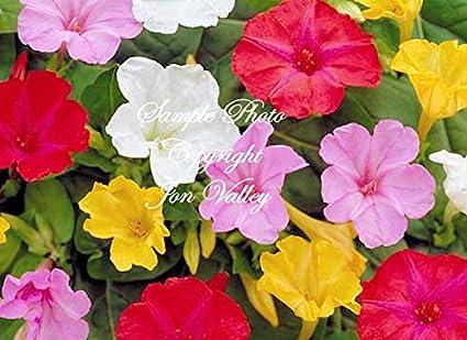 Amazon serendipitys 4 oclock rainbow mix 30 seeds mirabilis serendipitys 4 oclock rainbow mix 30 seeds mirabilis jalapa brilliant blooms annual perennial mightylinksfo