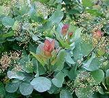 Old Fashioned Smoke bush Tree ( cotinus ) - Live Plant