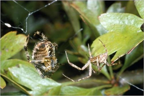 Photographic Print of SPH-823 Garden Spider - courtship - male on the right female on the left