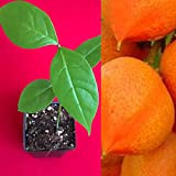 Mercury_Group - US Plantation, Peanut Butter Fruit Bunchosia Armeniaca Potted Tree Plant