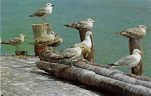 Sea Gulls at Rest on Old Pier Cape Cod Massachusetts Postcard (Sea Gull Cape)