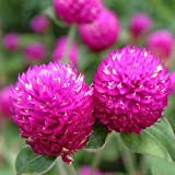 ink2055 50Pcs Gomphrena Globosa Seeds Flower High Germination Home Garden Decor Plant