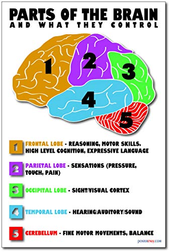 Waterproof The Brain External Structure Poster 12*17inch
