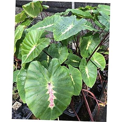 ELLA Plant Colocasia esculenta White Lava Ornamental Elephant Ear Live Potted Plant - EB154 : Garden & Outdoor