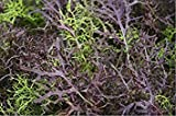 Mustard 'Mizuna Red Streaks' (Brassica Japonica) Leafy Vegetable Heirloom Seeds *Perfect For Braising Green Mix*