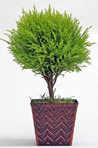 Lemon Cypress Tree, 4