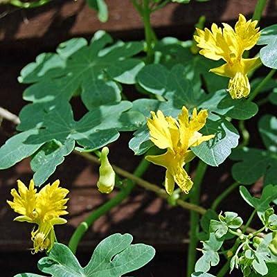 Toyensnow - Nasturtium Seeds - Canary Bird Vine Seeds Canary Creeper (50 Seeds) : Garden & Outdoor