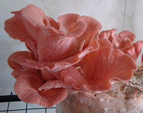 Oyster Plug - 20 Sterile PINK OYSTER Pleurotus Djamor Mushroom Plugs Dowels Spawn Mycelium