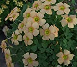 Oxalis obtusa Little Peach / 5 bulbs