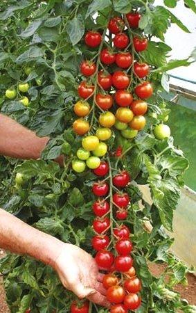 Semillas de tomate Koralik - Lycopersicon esculentum Mill: Amazon.es: Jardín