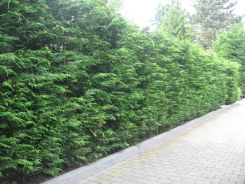 Leyland Cypress Hedging apx 40-60cm With Support Canes 10 Green Leylandii