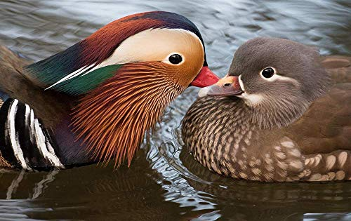 KaoHun Two Birds Mandarin Duck Water - Animal Picture Art Canvas Print Poster,Home Wall Decor 36x24 inches ()