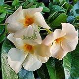 Sandys Nursery Online Mandevilla- 'Apricot' Sun Parasol Lot of 2 ~ Starter Plants~