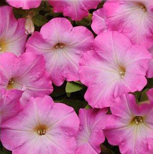 ~ Easy Wave Pink Dawn * Trailing Petunia * 20 Pelleted (Easy Wave)