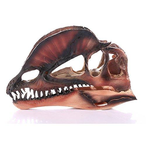 - Cambrian_CN Interior Decoration Dilophosaurus Resin Skull Dinosaur Skull Bone Specimen