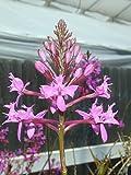 Epidendrum quitensium (elongatum) - Orchid Plant - Indigenous to Ecuador