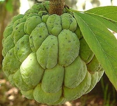Annona Squamosa - Sugar Apple - Rare Tropical Plant Tree Seeds (10)