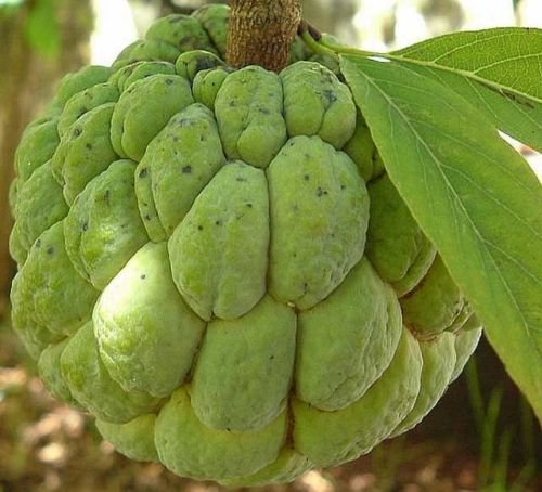 Nyctanthes Arbor - Annona Squamosa - Sugar Apple - Rare Tropical Plant Tree Seeds (20)